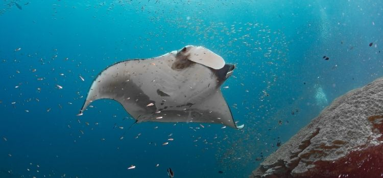 Scuba Diving with Manta Rays in Western Australia