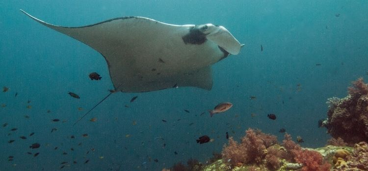 Swim with Manta Rays in Coral Bay